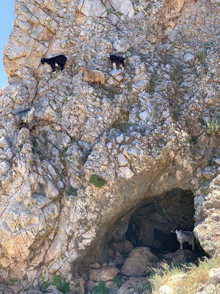 mountain goats on a rocky wall
