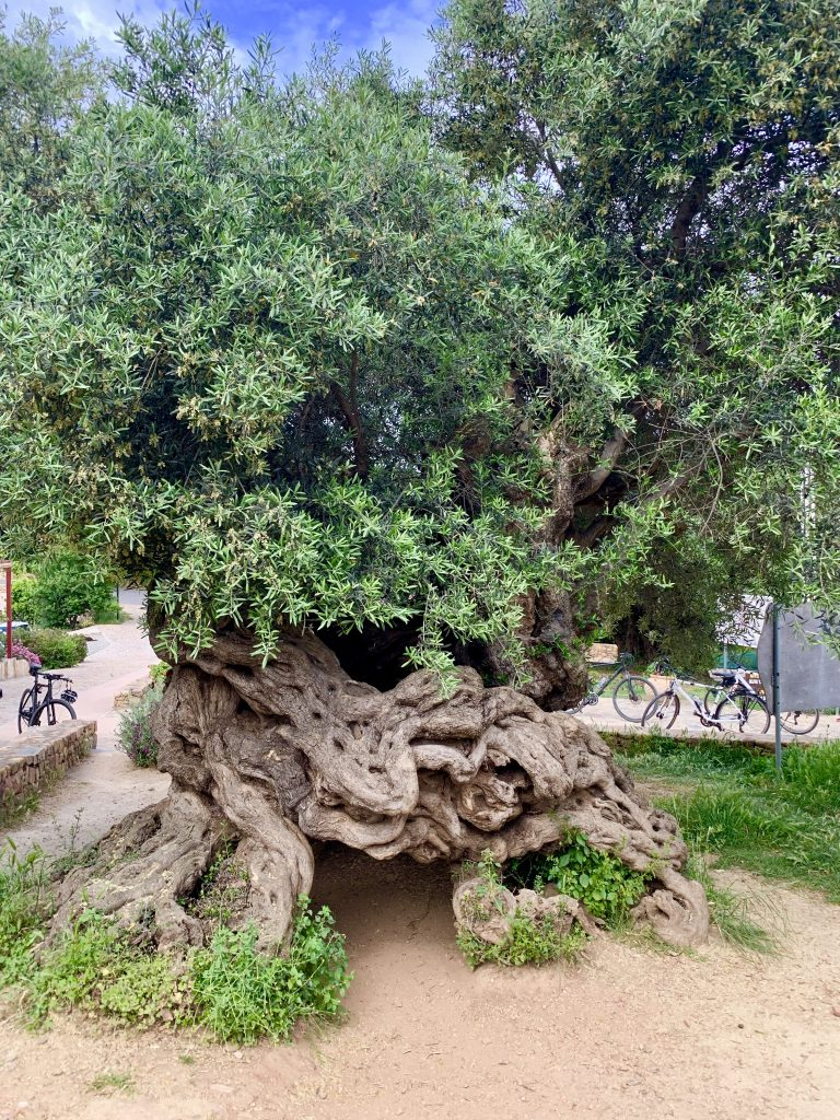 a photo of the olive tree of vouves, the 3,000 year old olive tree