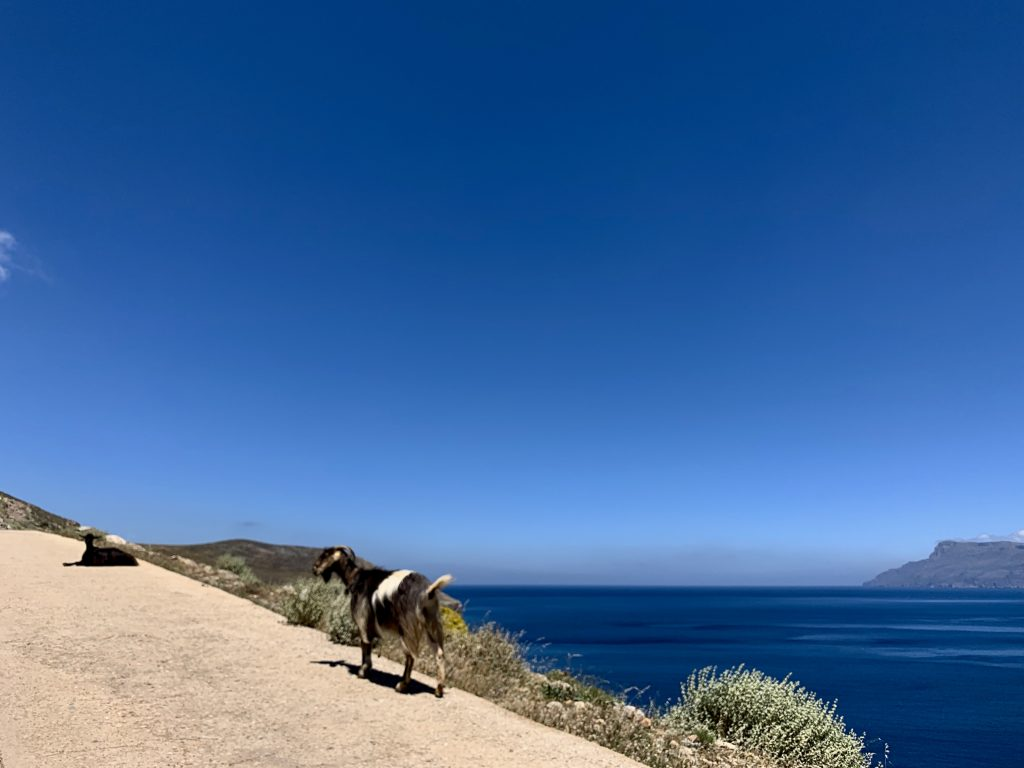 mountain goat walking up a steep road above a brilliant blue ocean and sky